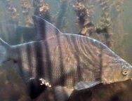 bream-fish